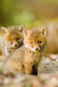 These baby foxes are so adorable!