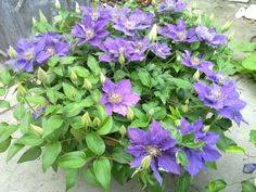 Clematis bijou in a pot - minature clematis  H - 1' to 2'