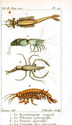 Animal - Crustacean - Shrimp