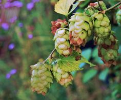 HOPS - things you should know about how to plant hops. Read this article to learn about growing hops plants in the garden.