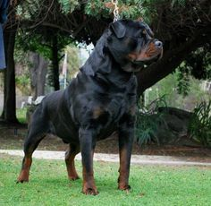 Find Rottweiler Puppies for sale in California. This Rottweiler Breeder Directory lists Rottweiler Kennels located in California where you can find puppies. Purebred Rottweiler, Rottweiler Puppies For Sale, Rottweiler Love, Dogs And Puppies, Chihuahua Dogs, Rottweiler Facts, Poodle Puppies, Bullmastiff, Doggies