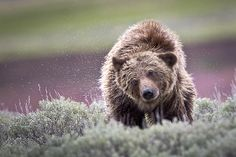Grizzly Bear at Lamar River, Yellowstone National Park, Wyoming, Western USA