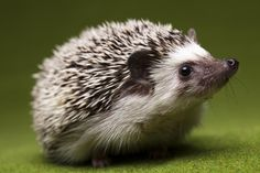 In the Life of a Hedgehog - Scientia