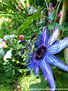 "Amazing flower, Passiflora, in my garden. (^.^)♥♡♥♡♥ Thanks, Pinterest Pinners, for stopping by, viewing, re-pinning,  following my boards.  Have a beautiful day! and ""Feel free to share on Pinterest..^..^  #nature #organicgardenandhomes"