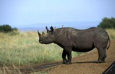 kenya masai mara national reserve nature wildlife rhino fauna bird mammals endangered species black rhinoceros birds oxpeckers on-its body crossing road horizontal
