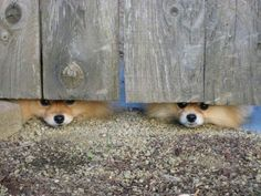 Peek a boo Pomeranians. Animals And Pets, Baby Animals, Funny Animals, Cute Animals, Cute Puppies, Cute Dogs, Dogs And Puppies, Doggies, Jiff Pom
