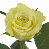 Vanilla sky roses  All year round availability