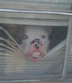 #pitbull mix with nose pressed against screen, watching for his humans :)