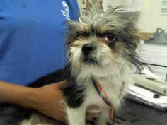 ID#A4069348 *Puppy/*   I am a male, black and white Cairn Terrier mix.  The shelter staff think I am about 1 year and 1 month old.  I have been at the shelter since Mar 30, 2018.