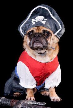 pirate pug!
