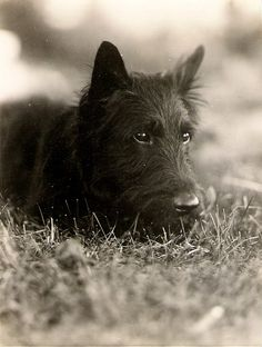 My grandpa's Scottish Terrier, Scooty, taken before WWII