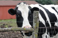 Today is Cow Appreciation Day and if you have never given much thought to how wonderful cows are, now is a great time to start.