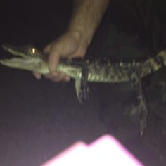 caught an alligator.... my dad is holding it
