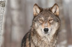 Innocent Wolf Killed After Visitors Break Zoo Rules