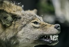 Wild Wolves | White Wolf: The Last Wild Wolves in British Columbia's Great Bear Rain ...