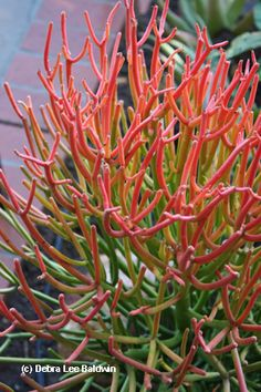 This scorcher is Euphorbia tirucalli 'Sticks on Fire'.