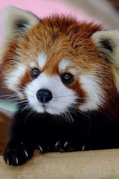 a picture of a beautiful red panda