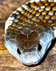 Australian Tiger snake