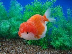 Sakura Ranchu Goldfish