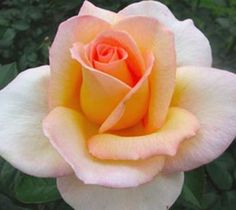 Always Remember Me, tea rose