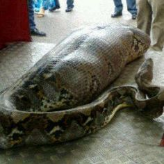 snake caught after ate human during Jakarta (indonesia) Flood