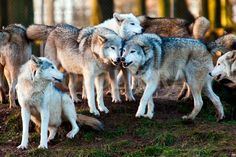 Adopt a Wolf:click the pic to get more info