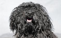 Flanders Bouvier, 4k, muzzle, pets, cute animals, Bouvier des Flandres, dogs, Flanders Bouvier Dog