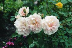 Morden Blush rose bush