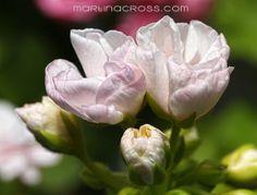 Pelargonie - Pelargonium - Pelargoner Marbacka Tulpan