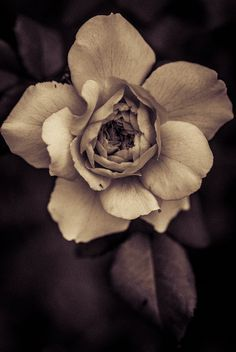 Dusty rose Foto Still, Open Rose, Brown Aesthetic, Autumn Nature, Time Tattoos, Autumn Photography, Jolie Photo, Flower Mandala, Flower Images
