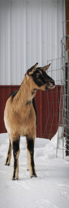 ► Alpine goat Fabulous walking in the snow. The couelanc markings look nice on the snow doesn't it? Check it out: http://gmsoap.co/1p6V5X7 #goats #farm #snow