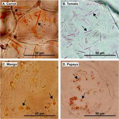 Influence of chromoplast morphology on carotenoid bioaccessibility of carrot, mango, papaya, and tomato - ScienceDirect Plant Cell, Carrots, Mango, Manga, Carrot