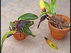 Prevenindo a Podridão Negra em Orquídeas