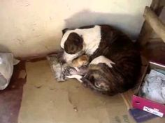 Video: Pit bull adopts kitten - Dog-Owned Life