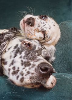 An English Setter puppy with his big sister. Photographed by Pouka Fine Art Pet Portraits. Beautiful Dogs, Animals Beautiful, Cute Animals, Cute Puppies, Cute Dogs, Dogs And Puppies, Doggies, English Setter Puppies, Irish Setter