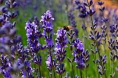 """""""Close up shot of true lavender in bloom complete with the photo bomber bee.""""  Pinned by www.mygrowingtraditions.com"""