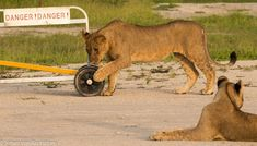 Seeing a lion is always a thrill, but seeing lions playing or moving around makes the sighting far more interesting. Johan Von Backstrom, DumaTau's General Manager, spotted two lionesses and five cubs lazing on the camp's airstrip. Chobe National Park, National Parks, Luxury Tents, Tent Camping, Cubs, Lions, Wilderness, More Fun, Safari