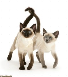 A Seal point and a Blue point Siamese kitten.