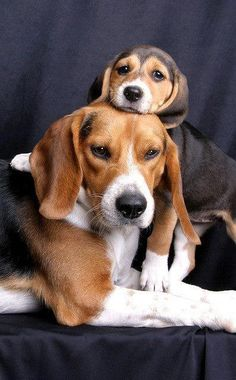 Mother Beagle and her Playful Puppy ----- Also, click on the image to check out our exclusive Beagles t-shirt today! All sizes available in different colors. It's only $16.94 & available for a limited time on Amazon.com                                                                                                                                                      Más