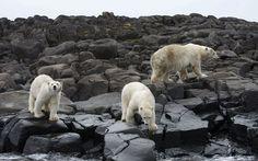 Cameraman Gordon buchanan Comes Face-to-Face with Hungry Polar Bears - My Modern Metropolis