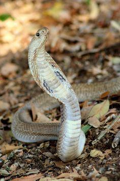 cobra Snake by Vinayak Nagmal on Indian Cobra, All About Snakes, Snake Venom, Cobra Snake, Beautiful Snakes, King Cobra, Soaps, Paper Crafts, Asian