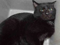 LOGANBERRY - A1058071 - - Brooklyn  ***TO BE DESTROYED 11/22/15***SECOND CHANCE FOR LOVELY LOGANBERRY–MAKE IT COUNT!!! THIS HANDSOME LOOKING CAT is hoping desperately for a new home tonight!! LOGANBERRY is a gorgeous looking male cat, all black with little patches of white on his chest. He's around 1 year old and was brought into the shelter in a cat trap. He is afraid at the shelter but he lets himself to be pet and is open to affection. He's hoping someone will