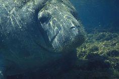 How You Can Help Keep Florida's Manatees Wild – Do Not Disturb