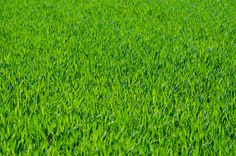 Seven Free Grass Textures or Lawn Background Images - http://www.myfreetextures.com/seven-free-grass-textures-or-lawn-background-images/