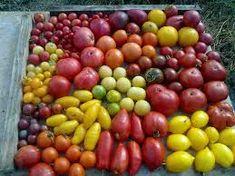"""Résultat de recherche d'images pour """"espèces tomates"""""""
