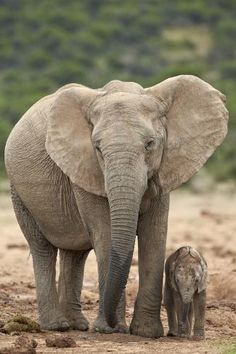 Photographic Print: African Elephant (Loxodonta Africana) Mother and Baby by James Hager : Mother And Baby Elephant, Elephant Love, Elephant Artwork, Elephant Photography, Animal Photography, Color Photography, Baby Animals Super Cute, Cute Animals, Jungle Animals