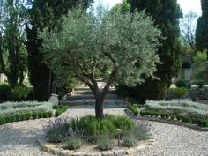 Olive Garden Design and Landscaping . Luxury Olive Garden Design and Landscaping . Mediterranean Landscaping Olive Trees Lavender and Mediterranean Garden Design, Tuscan Garden, Italian Garden, Mediterranean Style, Large Backyard Landscaping, Modern Landscaping, Landscaping Ideas, Driveway Landscaping, Patio Ideas