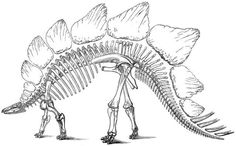 This drawing shows the restoration of a Stegosaurus skeleton. Stegosaurus was large, herbivorous dinosaur from the late Jurassic Period.