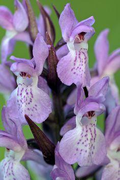 Southern Marsh-Orchid:  Dactylorhiza praetermissa | Flickr - Photo Sharing!