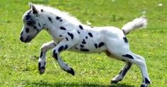 Falabella (worlds smallest horse)